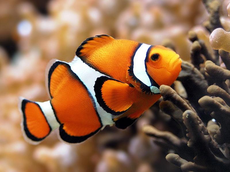 Пазл Собирать пазлы онлайн - Рыба-клоун