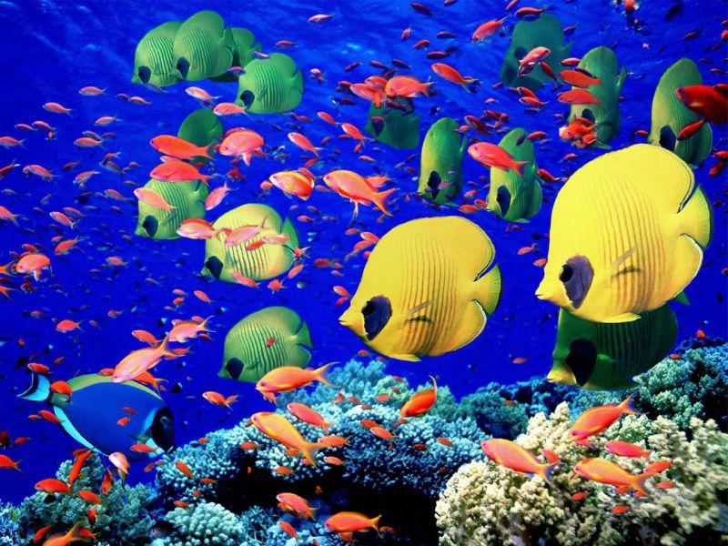 Пазл Собирать пазлы онлайн - Рыбки на рифе