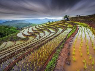 Собирать пазл Рисовые поля онлайн