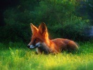 Собирать пазл Рыжая лиса в траве онлайн