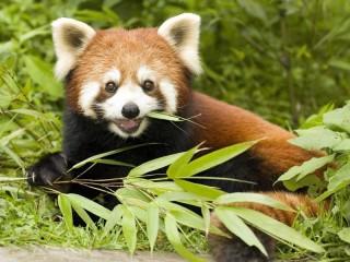 Собирать пазл Рыжая панда онлайн
