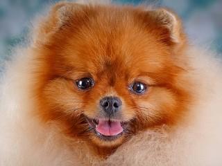 Собирать пазл Рыжая собачка онлайн