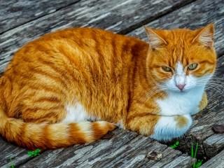 Собирать пазл Рыжий кот онлайн