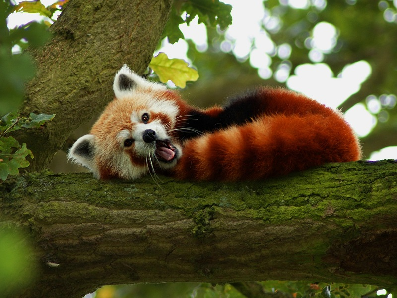Пазл Собирать пазлы онлайн - Малая панда