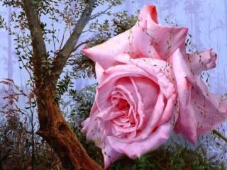Собирать пазл Розовая роза онлайн