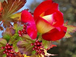 Собирать пазл Роза и калина онлайн
