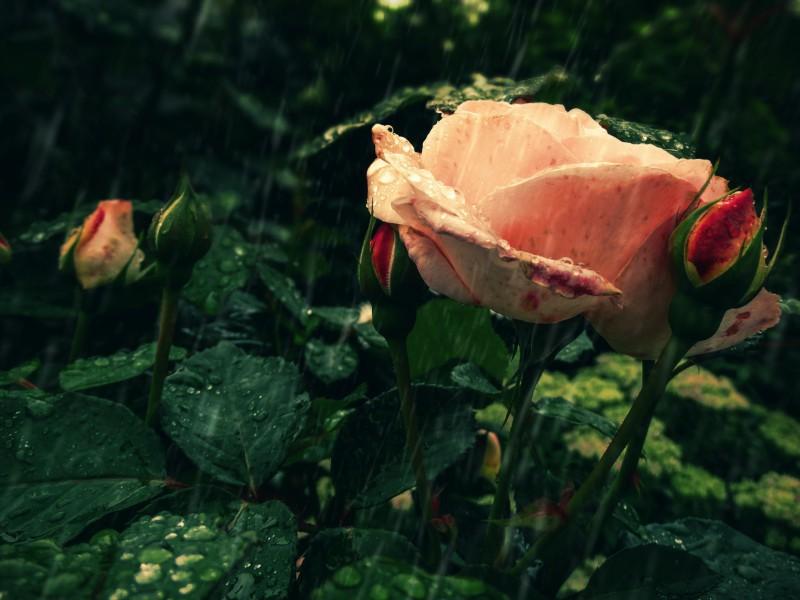 Пазл Собирать пазлы онлайн - Роза под дождем