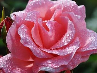 Собирать пазл Роза после дождя онлайн