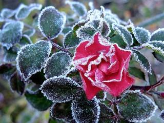 Собирать пазл Роза в инее онлайн
