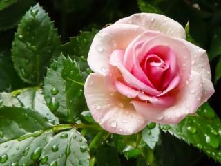 Собирать пазл Роза в росе онлайн