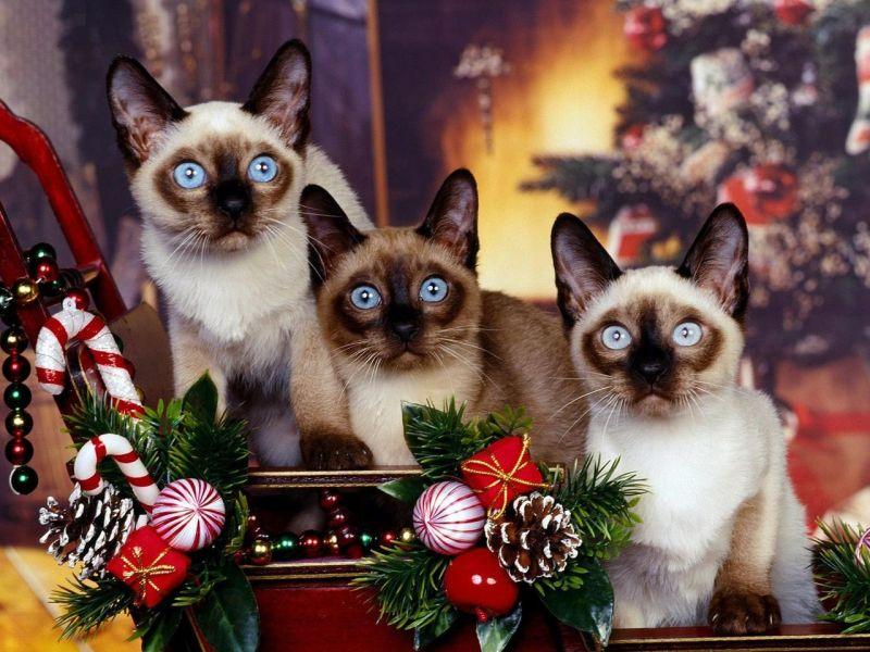 Пазл Собирать пазлы онлайн - Рождество с котятами