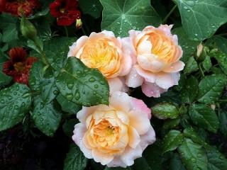 Собирать пазл Розы и настурция онлайн