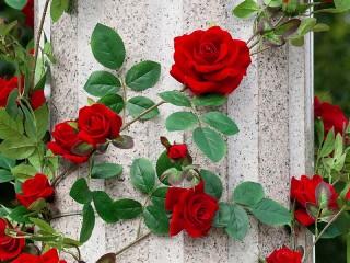 Собирать пазл Розы на колонне онлайн