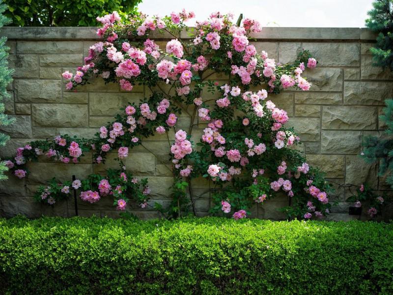 Пазл Собирать пазлы онлайн - Розы на заборе