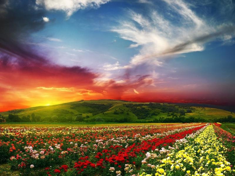 Пазл Собирать пазлы онлайн - Розы на закате
