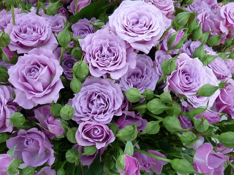 Пазл Собирать пазлы онлайн - Розы пионовидные