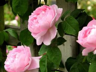 Собирать пазл Розы сквозь забор онлайн