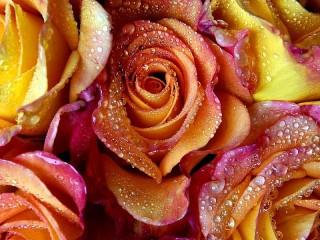 Собирать пазл Розы в росе онлайн