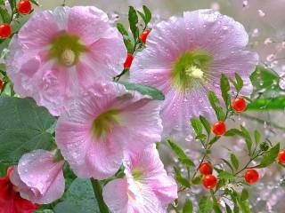 Собирать пазл Розовая лаватера онлайн