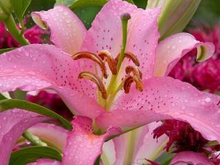 Собирать пазл Розовая лилия онлайн
