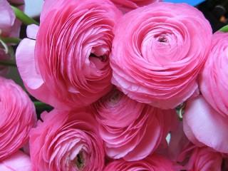 Собирать пазл Розовая пышность онлайн