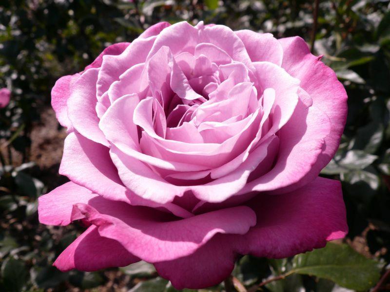 Пазл Собирать пазлы онлайн - Розовая роза