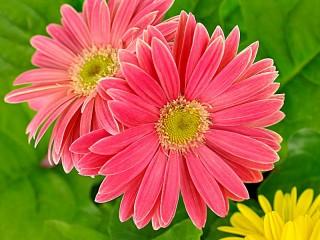 Собирать пазл Розовые герберы онлайн