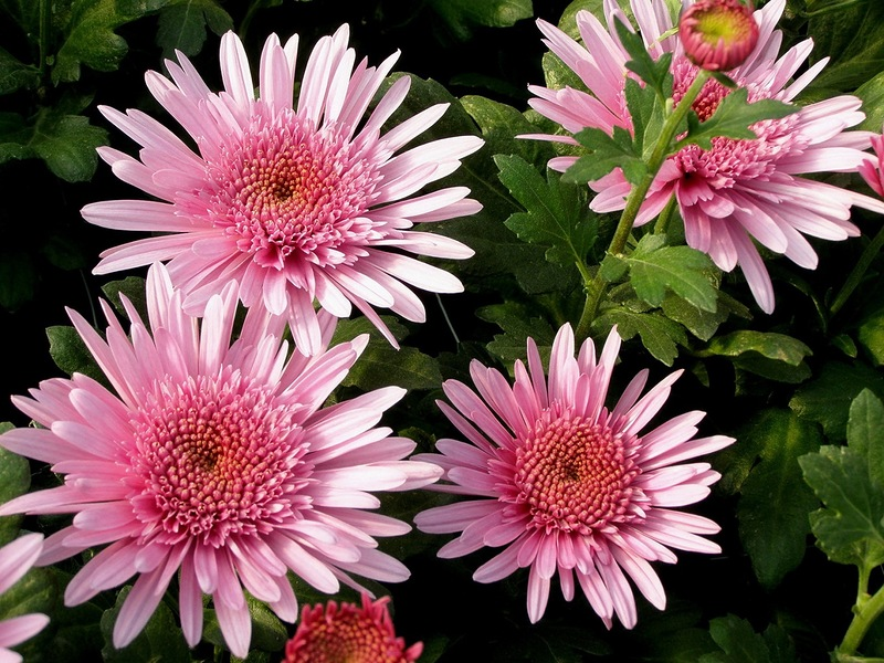 Пазл Собирать пазлы онлайн - Розовые хризантемы