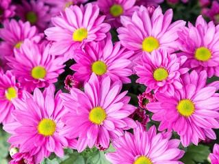 Собирать пазл Розовые хризантемы онлайн