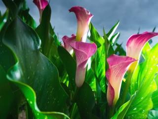 Собирать пазл Розовые каллы онлайн