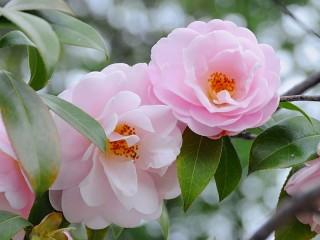 Собирать пазл Розовые камелии онлайн