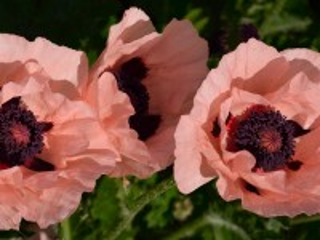Собирать пазл Розовые маки онлайн