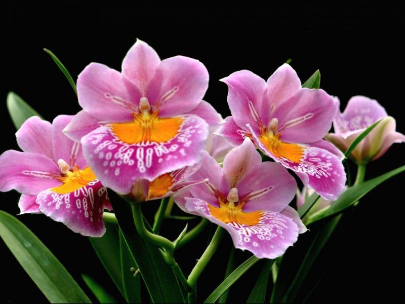 Пазл Собирать пазлы онлайн - Розовые орхидеи1