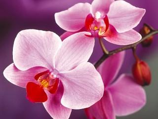 Собирать пазл Розовые орхидеи онлайн