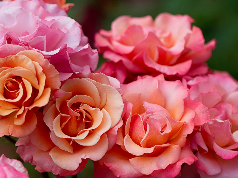 Пазл Собирать пазлы онлайн - Розовые розы