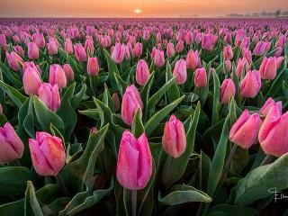 Собирать пазл Розовые тюльпаны онлайн