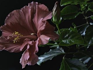 Собирать пазл Розовый гибискус онлайн