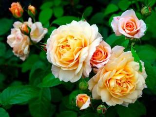 Собирать пазл Розовый куст онлайн
