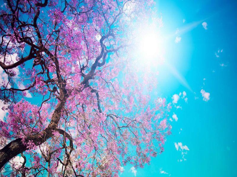Пазл Собирать пазлы онлайн - Сакура на солнце