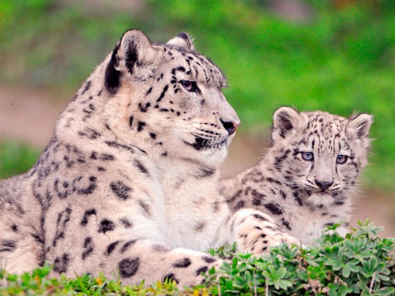 Пазл Собирать пазлы онлайн - Семейство кошачьих