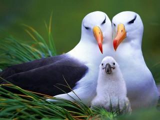 Собирать пазл Семья альбатросов онлайн