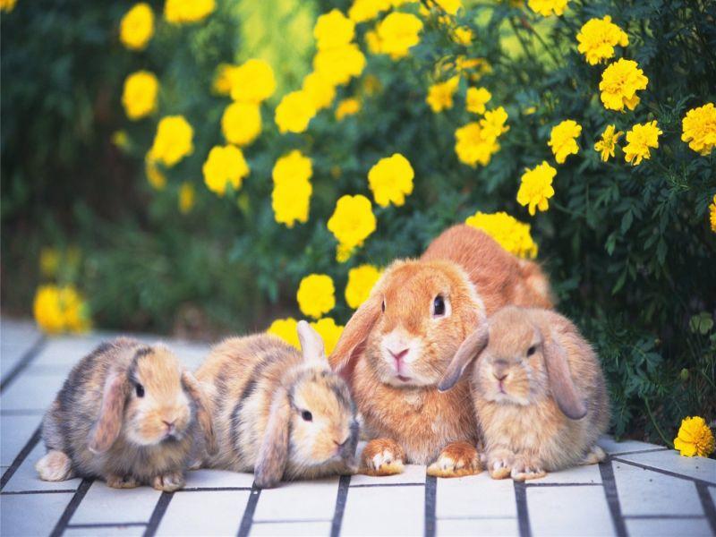 Пазл Собирать пазлы онлайн - Семья кроликов