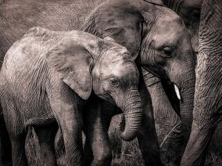 Собирать пазл Серые слоны онлайн