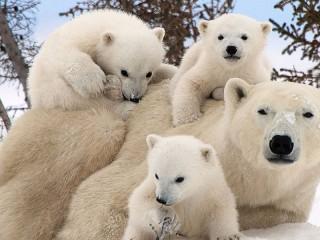Собирать пазл Белые медведи  онлайн