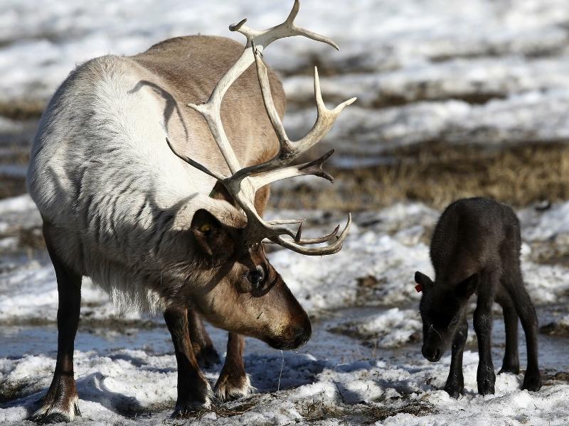 Пазл Собирать пазлы онлайн - Северные олени