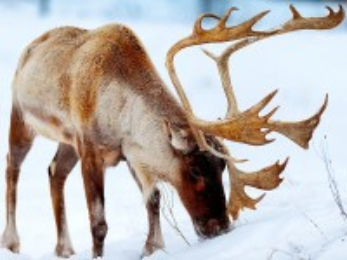 Собирать пазл Северный олень онлайн