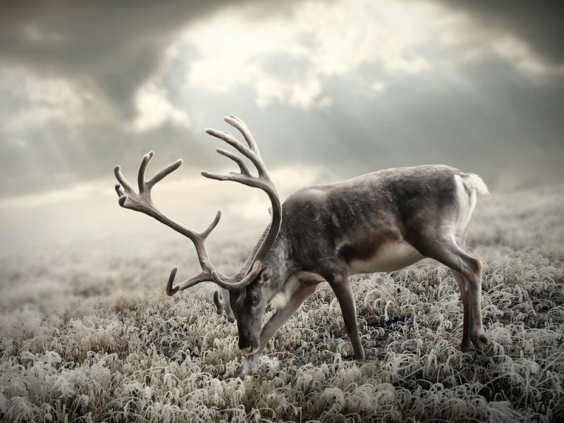 Пазл Собирать пазлы онлайн - Северный олень