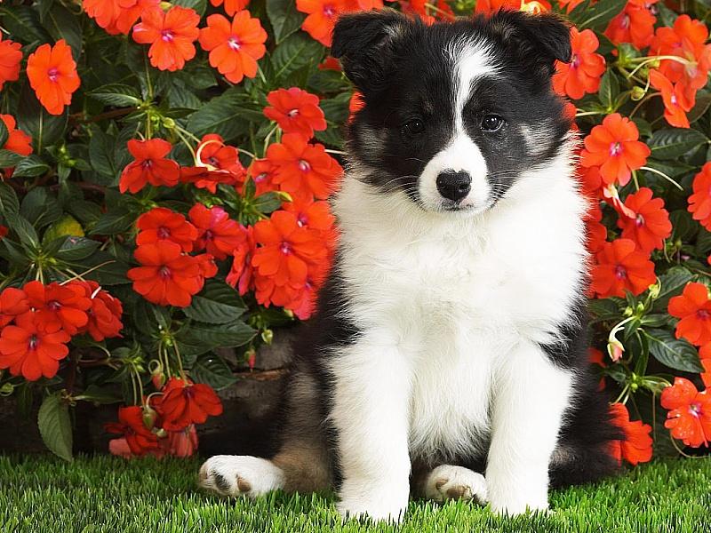 Пазл Собирать пазлы онлайн - Щенок и цветы