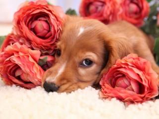 Собирать пазл Щенок в розах онлайн