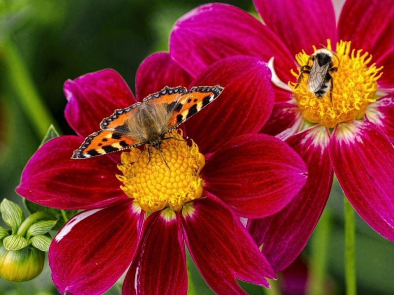 Пазл Собирать пазлы онлайн - Шмель и бабочка